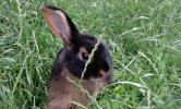 coniglio nell'erba
