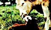 mucca e vitello liberi