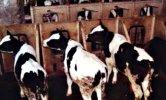 vitellini prigionieri
